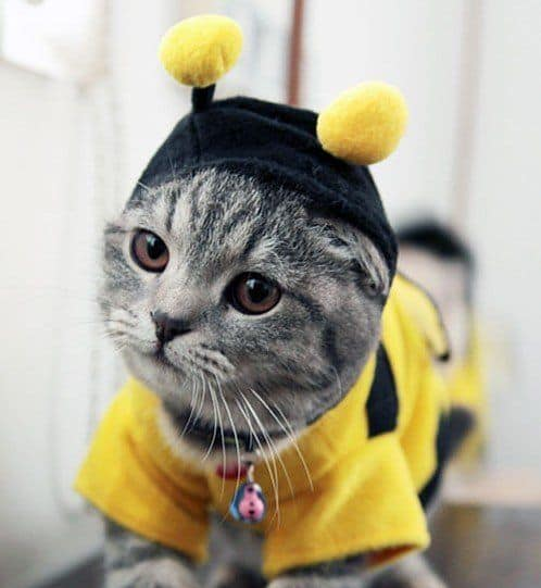Bumble Bee Cat & Bumble Bee Cat - Cute Cats in Hats