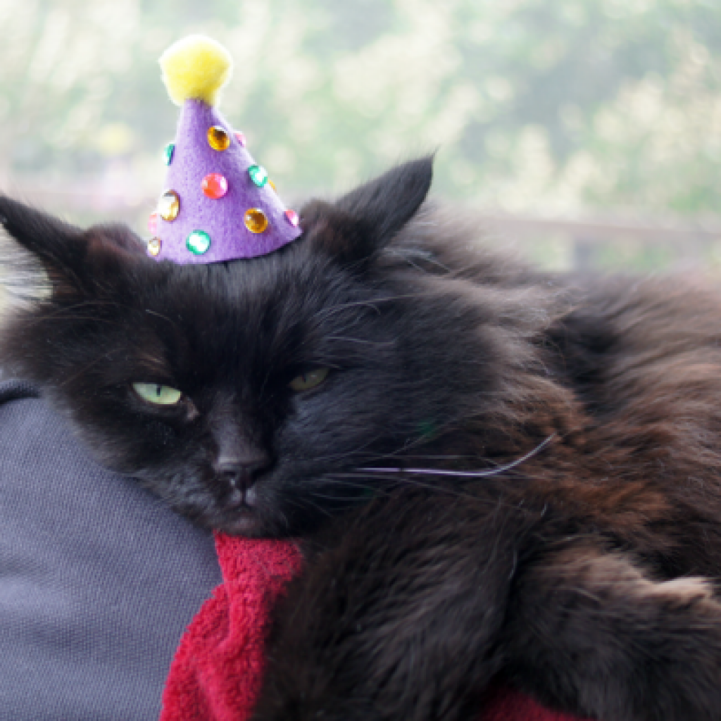 Birthday Cat Photos Cute Cats In Hats Png 1024x1024 Hat With Meme