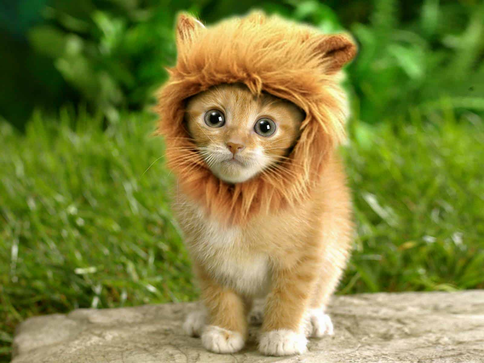 little-lion-cat.jpg