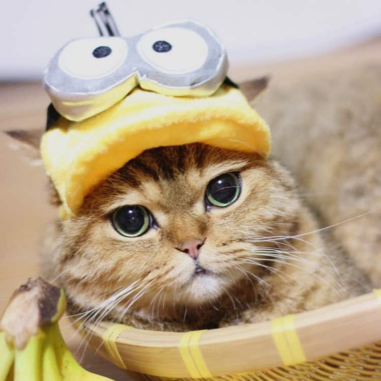 minion cat hat cute cats in hats. Black Bedroom Furniture Sets. Home Design Ideas