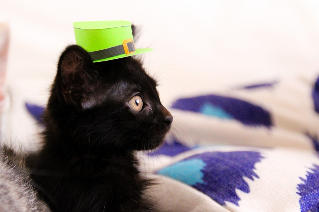 250 photos and videos of cute cats in hats cute cats in hats st patricks day kitty voltagebd Images