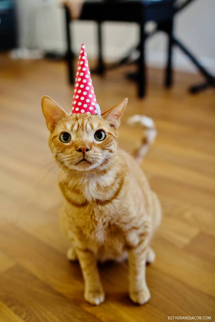 Birthday Party Cat - Cute Cats in Hats
